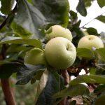 Des arbres fruitiers dans votre jardin